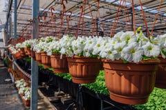 Kwiatonośne białe petunie w pomarańczowych garnkach, wieszających na arkanie w kwiatu rynku Fotografia Stock