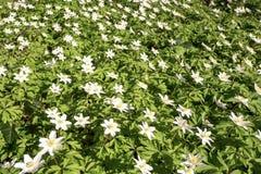 Kwiatonośne dzikie anemon rośliny wewnątrz w górę fotografia royalty free