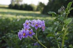 Kwiatonośne grule obrazy royalty free