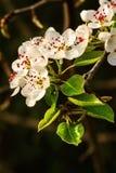 Kwiatonośne jabłonie Zdjęcie Royalty Free