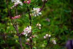 Kwiatonośne jabłonie pierwszy wiosenny kwiat zdjęcia stock