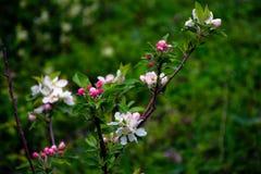 Kwiatonośne jabłonie pierwszy wiosenny kwiat zdjęcia royalty free
