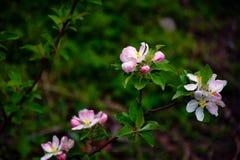 Kwiatonośne jabłonie pierwszy wiosenny kwiat zdjęcie royalty free