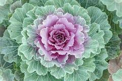 Kwiatonośne kapusty, zbliżenie: tekstury wapno i menchie Zdjęcia Stock
