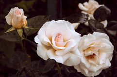 Kwiatonośne krzak śmietanki róże Fotografia Royalty Free