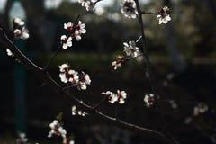 Kwiatonośne morelowe gałąź w wiosna ogródzie zdjęcie stock