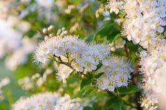 Kwiatonośne ptasie wiśnie Obraz Royalty Free