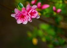 Kwiatonośne Różowe azalie w góra parku - 3 zdjęcia stock