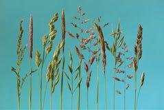 Kwiatonośne trawy z błękitnym tłem Zdjęcia Royalty Free