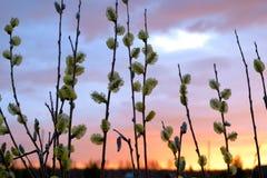 Kwiatonośne wierzb gałąź Fotografia Royalty Free