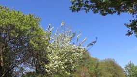 Kwiatonośnego okwitnięcia Biali jabłka Kwitną Z Młodymi liśćmi I Rozjaśniają błękit zbiory