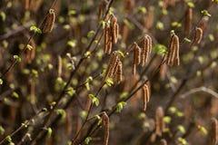 Kwiatonośnej leszczyny kolczyków wiosna w górę fotografia stock