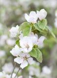 Kwiatonośnej pigwy gałąź delikatnej wiosny kolorowy tło obraz stock