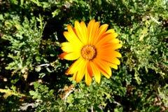 Kwiatonośnej rośliny aster, stokrotki rodzina zdjęcie royalty free