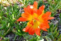 Kwiatonośnej rośliny leluja zdjęcie stock