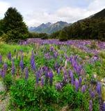 kwiatonośni łubiny Obrazy Stock