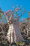 Kwiatonośni butelek drzewa w ochraniającym terenie Dixam plateau, Socotra wyspa, Jemen zdjęcia stock