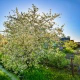 Kwiatonośni czereśniowi drzewa w wiosce ponownej Ust-Izhora Leningrad zdjęcie stock
