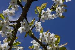 Kwiatonośni Czereśniowi okwitnięcia przeciw niebieskiemu niebu Zdjęcia Stock