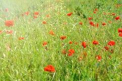 Kwiatonośni czerwoni maczki na zielonej łące Obrazy Royalty Free