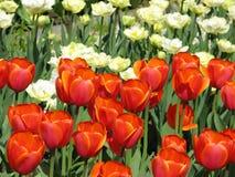 kwiatonośni czerwoni tulipany Zdjęcie Stock