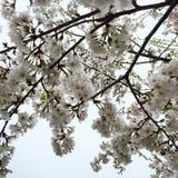 Kwiatonośni drzewa w wiośnie Obrazy Royalty Free