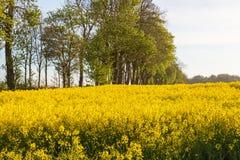 Kwiatonośni gwałtów pola Zdjęcia Stock