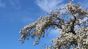 Kwiatonośni okwitnięć jabłek kwiaty zdjęcie wideo