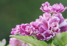 Kwiatonośni Saintpaulias, powszechnie znać jako Afrykański fiołek Obraz Royalty Free