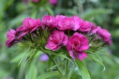 Kwiatonośni Tureccy goździki Fotografia Stock