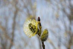 Kwiatonośni wierzba pączki kwitnący zdjęcia royalty free
