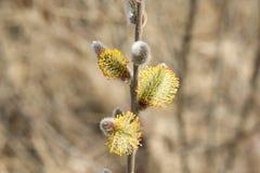Kwiatonośni wierzba pączki kwitnący fartuch zdjęcia royalty free
