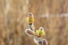 Kwiatonośni wierzba pączki kwitnący fartuch zdjęcie royalty free