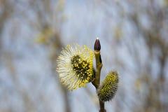 Kwiatonośni wierzba pączki kwitnący fartuch obraz royalty free