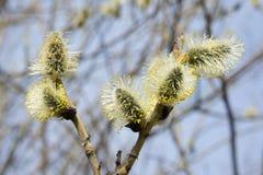 Kwiatonośni wierzba pączki kwitnący w Kwietniu fotografia royalty free