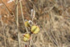 Kwiatonośni wierzba pączki kwitnący w Kwietniu zdjęcia royalty free