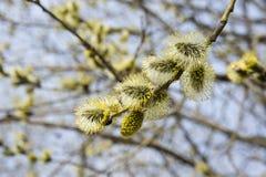 Kwiatonośni wierzba pączki kwitnący w Kwietniu zdjęcie stock