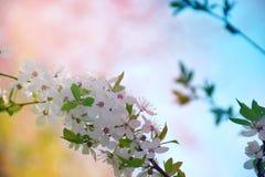 Kwiatonośny śliwkowy zakończenie jaskrawy tło wiosna Kwitnąca śliwka Zdjęcia Royalty Free