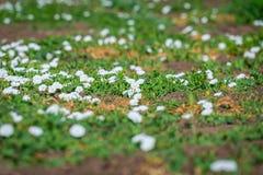 Kwiatonośny śródpolny bindweed lub powoju arvensis Białych kwiatów dorośnięcia depresja wśród roślinności Obraz Stock