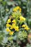 Kwiatonośny żółty gwałt Obraz Stock