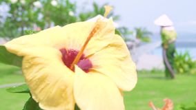 Kwiatonośny żółty poślubnik i zieleni liście zamykamy w górę Bloomimg poślubnika kwiat na zielonym ulistnienia tle tropikalny zdjęcie wideo