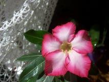 Kwiatonośny adenium lub pustynia, wzrastaliśmy zdjęcia royalty free