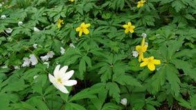 Kwiatonośny anemon w wiośnie obraz stock