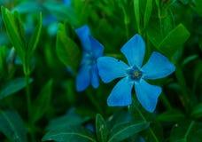 kwiatonośny barwinek fotografia stock