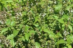 Kwiatonośny basil, aromatyczny rośliny dorośnięcie w ogródzie, wielka pikantność zdjęcie royalty free