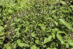 Kwiatonośny basil, aromatyczny rośliny dorośnięcie w ogródzie, wielka pikantność zdjęcia royalty free