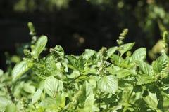 Kwiatonośny basil, aromatyczny rośliny dorośnięcie w ogródzie, wielka pikantność obraz royalty free
