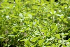 Kwiatonośny basil, aromatyczny rośliny dorośnięcie w ogródzie, wielka pikantność obrazy royalty free
