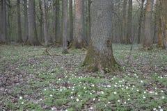 Kwiatonośny buttercap wokoło grabu zdjęcia stock