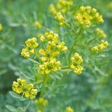 kwiatonośny chalepensis ruta zdjęcie stock